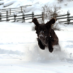 Dogge (Patric Tysk) Tags: dog snow fun jumping action wachtel dogjumping