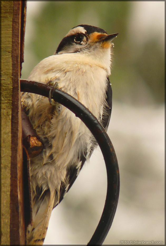 P1130329_woodpecker