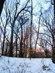 golden leaves in winter (yeoldeblackhippie) Tags: new york trees snow leaves blizzard