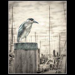 Sailboat Heron