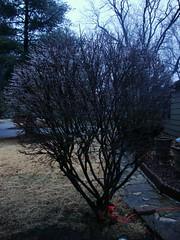 Iced Fire Bush (Don n Kathy's Stream) Tags: ice winter2010 prairievillagekansas newyearseve2010