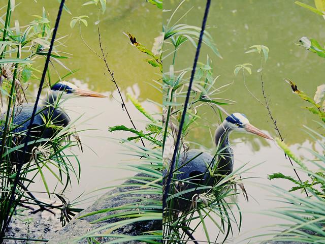 Morikami heron diptych