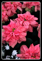 Holiday feast for the eyes! (judecat (back with the pride)) Tags: poinsettia longwoodgardens lacecappedhydrangea