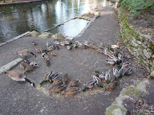 Duck circle four