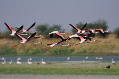Flamingoes taking off (Saumil U. Shah) Tags: pink wallpaper india lake bird nature birds flamingoes wings calendar wildlife postcard flamingo flight takeoff greaterflamingo phoenicopterusroseus waders avian desktopwallpaper gujarat ahmedabad shah thinkpink wader phoenicopterus saumil roseus incredibleindia thol pinkalicious netsquare    saumilshah  cal2011