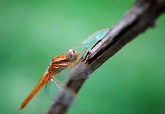 Dragon Fly (.ღ♫°Qanas°♫ღ.) Tags: orange brown macro green eye wow fly amazing wings nikon focus dubai dragon looking shot zoom jan uae explore qanas rashed 2011 intresting 20fav 40fav 60fav 80fav d40x alzaabi