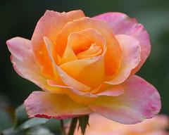 DSC_0105 (cfotos4fun-Russell) Tags: flowers roses flower rose gardens garden centralpark rosegarden publicgardens rosegardens flowergardens cfotos4fun natureselegantshots centralparkrosegarden