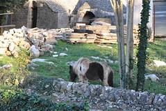 Casale dei Pini - Pony nei trulli (Angeli Silenti) Tags: horses horse caballo cheval box trulli cavalli puglia martina trullo taranto casale pini martinafranca maneggio equitazione calesse equini murgese