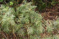 Melianthus pectinatus 101129-0553 (Tony Rodd) Tags: australia melbourne victoria botanicgardens melianthaceae melianthuspectinatus