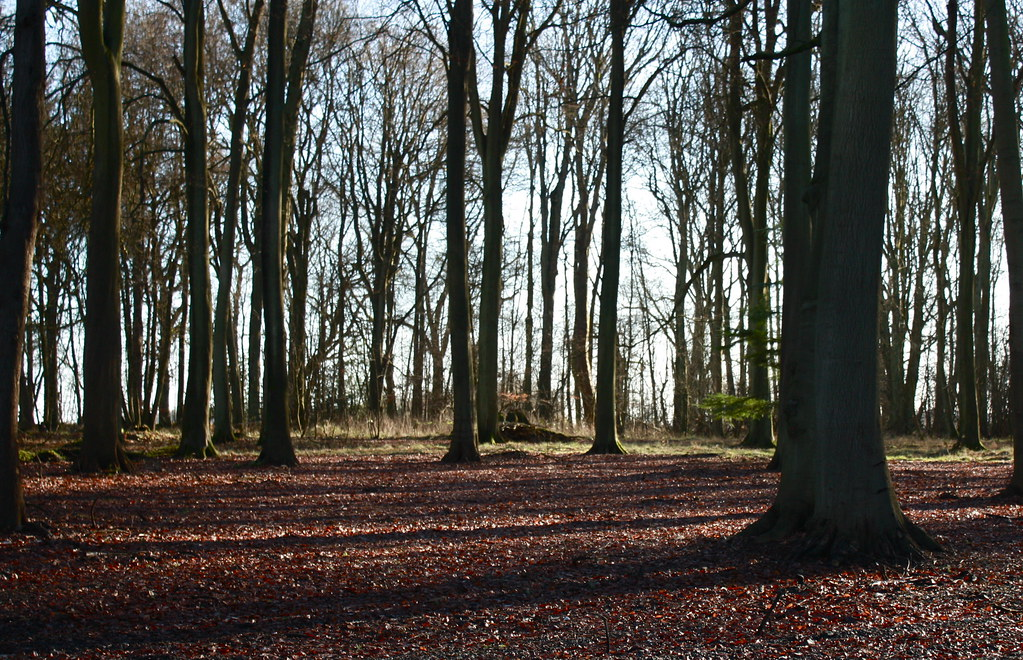 Beech woods carpeted with leaves