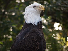 P1082356 (Fernando Lenis) Tags: birds lumix for eagle photos bald olympus center panasonic using fernando prey audubon f4056 lenis 45200mm penpl1