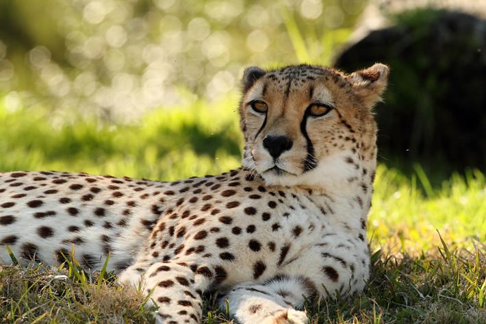 011211_cheetah