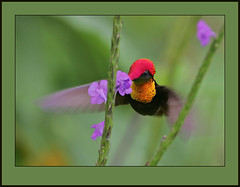 Ruby-topaz Hummingbird (Chrysolampis mosquitus) (Rainbirder) Tags: avianexcellence chrysolampismosquitus taxonomy:binomial=chrysolampismosquitus