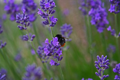Lavender with busy bumblebee
