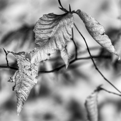 beauty in decay (nosha) Tags: light shadow bw white black beautiful beauty leaves contrast 50mm leaf vermont decay trish bn newyears vt niels 2010 fifty lightroom nosha niftyfifty nikond300 sharonvermontusa