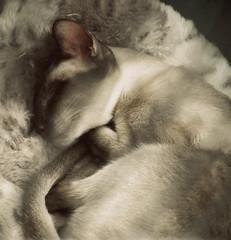 greys (hanna.bi) Tags: show venice cat siamese hannabi thecatwhoturnedonandoff ldlportraits