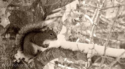 squirrelinsnow