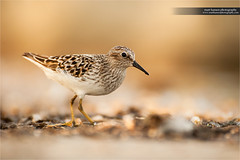 Least Sandpiper (www.matthansenphotography.com) Tags: sunset color bird nature animal pose evening pond soft searchthebest pastel wildlife small ground patient delicate depth avian plumage shorebird leastsandpiper foraging catchlight charadriiformes calidrisminutilla scolopacidae avianexcellence matthansen