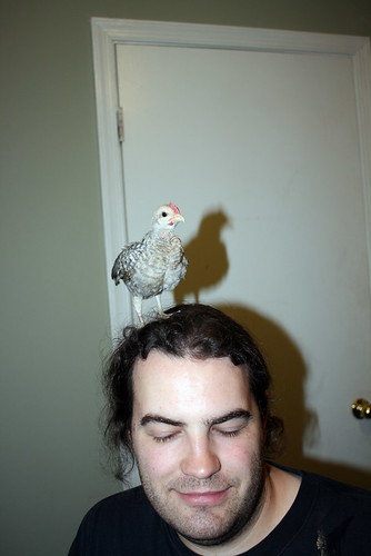 Merlin, a very small crele chicken (white with grey stripes on his back and brown ones on his breast) stands triumphantly atop Daniel's head.  Daniel's eyes are closed.