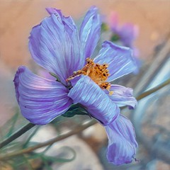 Playing (Helen Orozco) Tags: prisma flower cosmos