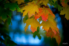 Turning leafs  (T.ye) Tags: leaf leafs plant maple red orange fall autumn bokeh outside outdoor