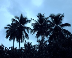 Dominican Palms (Sandra Leidholdt) Tags: trees beach nature silhouette coast dominicanrepublic dr explore palmtrees caribbean rd republicadominicana elvalle explored sandraleidholdt hatomayor playadelvalle leidholdt sandyleidholdt