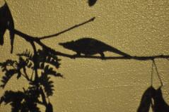 Textured Chamelion (petelovespurple) Tags: fauna nikon textures malawi zomba eastafrica ricon d90 zombaplateau kr10x