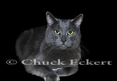 Russian Blue (Chuck Eckert / Chicago & Beyond) Tags: portrait pet animals closeup cat body gray whiskers greeneyes domestic language breed household upclose yelloweyes russianblue greeneyed facialexpression stoic