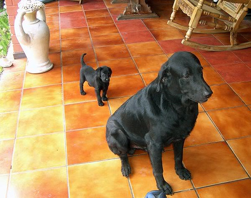 black Labrador Retrievers - Onyx and Abba