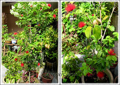 Collage of potted Calliandra emarginata at our front yard