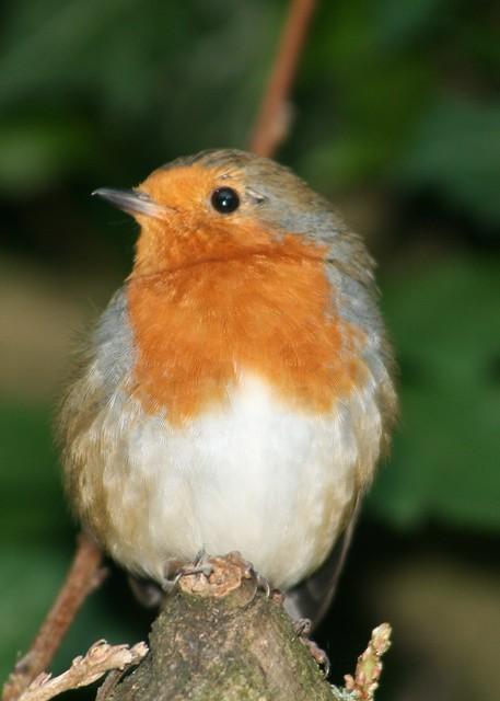 Robin (2)