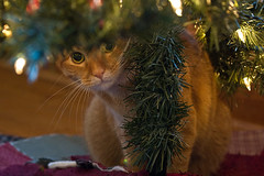 Cat Under a Christmas Tree Waiting For Santa Claus (curtisWarwick) Tags: santa christmas decorations tree cat lights waiting attack claus anticipating ambush clause