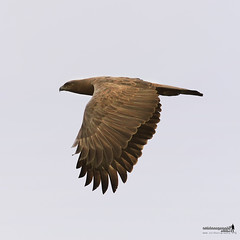 Crested Serpent Eagle (Spilornis cheela) (Sir Mart Outdoorgraphy) Tags: birds magazine education nikon photographer bokeh outdoor birding best raptor malaysia penang indah birdwatching birder butterworth birdisland byram unik nikonian d90 migratorybirds bairam menarik nikonuser nibongtebal jurugambar penangflickr sigma150500 pulauburung sirmart outdoorgraphy crestedserpenteaglespilornischeela penangflickrgroup pulauburong