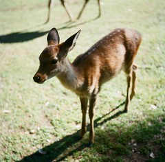 Colors of Nara (kymak) Tags: park shadow green 6x6 grass japan rolleiflex mediumformat square daylight afternoon deer  nara automat   schneiderxenar3575 modelk4a june1951march1954
