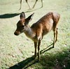 Colors of Nara (kymak) Tags: park shadow green 6x6 grass japan rolleiflex mediumformat square daylight afternoon deer 日本 nara automat 奈良 奈良公园 schneiderxenar3575 modelk4a june1951march1954