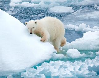 polar bear climbs on ice