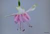 Fuchsia 'Cornielle B' (pennyeast) Tags: flower botanical fuchsia capetown 2010 onagraceae pae cultivar papaalphaecho