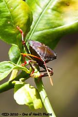 Stink bugs (vk2gwk - Henk T) Tags: tree bug insect shield citrus stinkbug pest pentatomoidea