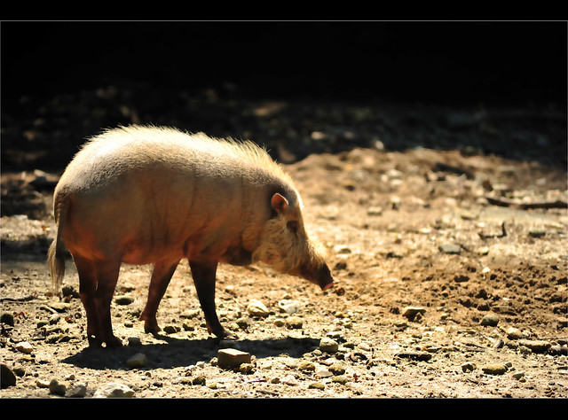 Zoo Taiping - Bearded Pig