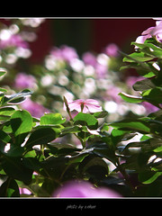 flowers in the morning sunshine (e.nhan) Tags: pink flowers red white black flower nature rose yellow closeup landscape colours shadows dof bokeh enhan specanimal mywinners colorphotoaward