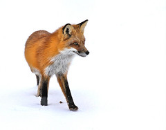 Qui va l ? (Yves Dry) Tags: winter snow nature canon mammal montral quebec montreal wildlife hiver qubec fox neige mammifre jardinbotanique redfox faune montrealbotanicalgarden renard renardroux vulpusvulpus canoneos7d canon7d