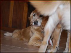 Pauli's Home (sundero) Tags: dog home goldenretriever puppy toy golden floor sharing bone share lark pauli laying