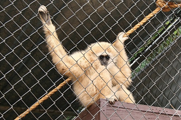 Gibbon at the Wildlife World Zoo