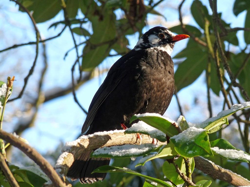 23764 - Leucistic Blackbird, Singleton Park