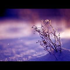 im Schnee (~janne) Tags: schnee winter light sun snow cold berlin 50mm licht pflanze olympus lila kalt sonne wetzlar kälte leitz janusz summiluxr e520 ziob