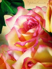 Sunday Colors {165/365} (YohanneSaconato) Tags: flowers flores flower color nature fleur colors rose yellow cores colorful natureza flor rosa amarelo h9 colorido colorphotoaward flickraward acaradobrasil yohannesaconato