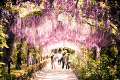 wisteria (PK's Photo Diary) Tags: world pink italy nature beautiful gardens garden florence europe italia european purple alice perspective dream young wonderland wisteria boboli