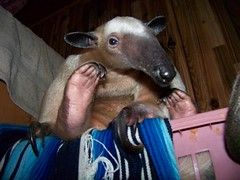 Being given the anteater eye