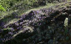 Ramondia mit Pyrenäen-Steinbrech, NGIDn34470686 (naturgucker.de) Tags: spanien sanjuandelapena ramondamyconi naturguckerde aragn cjrgenwolfgangberg ngidn34470686