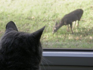 cat deer jacqueline veats ph